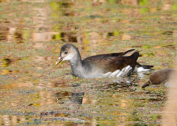 "<div class=""jaDesc""> <h4> Juvenile Common Moorhen Dabbling - September 27, 2012 </h4> <p> This juvenile Common Moorhen was paddling along the edge of the main pool at Montezuma National Wildlife Refuge above Cayuga Lake, NY.</p> </div>"