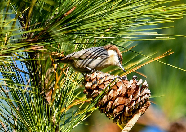 """<div class=""""jaDesc""""> <h4>Brown-headed Nuthatch Eyeing Seed - November 10, 2016 </h4> <p>These Brown-headed Nuthatches were prying the seeds out of the pine cones.  They were making a squeaky """"bit-bit-bit"""" sound which is not at all like the """"honk-honk"""" call of the White-breasted and Red-breasted Nuthatches. </p> </div>"""