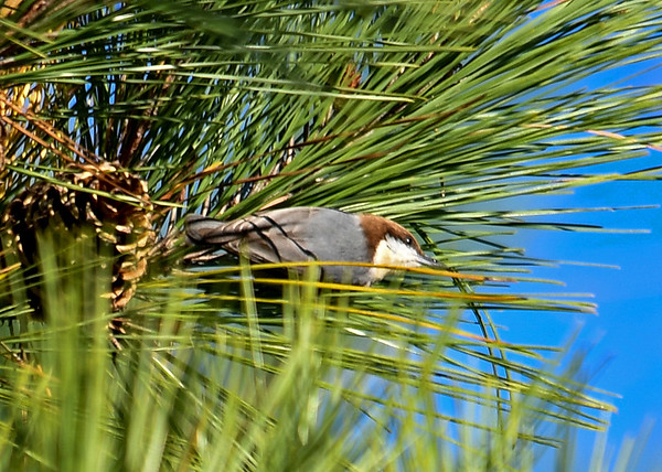 """<div class=""""jaDesc""""> <h4>Brown-headed Nuthatch Moving to Another Tree - November 10, 2016 </h4> <p>They would get only one seed out of any cone before moving on to another cone or tree, making it very difficult to keep track of where they were.</p> </div>"""