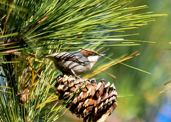 "<div class=""jaDesc""> <h4>Brown-headed Nuthatch on Cone - November 10, 2016 </h4> <p>I spent about 30 minutes trying to identify small birds that were moving rapidly through dense pine trees.  I was finally able to get a few shots good enough to figure out what they were.</p> </div>"