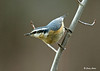 """<div class=""""jaDesc""""> <h4> Female Red-breasted Nuthatches Return - March 12, 2009 </h4> <p> This is one of the pair of Red-breasted Nuthatches that returned the other day.  They are so fast, so it has taken me awhile just to get one in the frame.  The female has the light breast coloring.</p> </div>"""