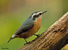 "<div class=""jaDesc""> <h4> Red-breasted Nuthatch - First Fall Visit - September 28, 2009 </h4> <p> While I have been hearing these guys in the woods all summer, I had not seen one until last week. The suet and sunflower seeds are his favorites.</p> </div>"