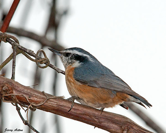"<div class=""jaDesc""> <h4> Red-breasted Nuthatch on Vine - February 22, 2010 </h4> <p> I am always fascinated by these little speed demons.  Normally they are racing up, down and around a tree trunk.  This guy had to slow down a bit to maneuver along this vine among obstacles.</p> </div>"