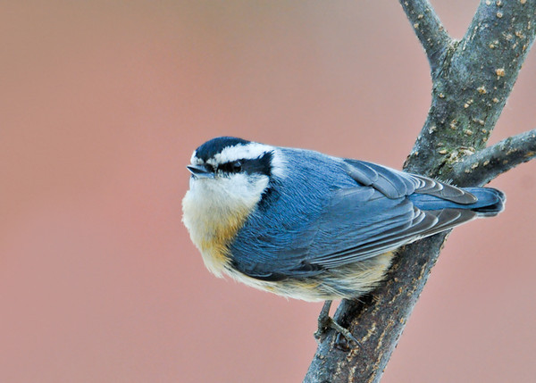 """<div class=""""jaDesc""""> <h4>Red-breasted Nuthatch Glaring at Me - January 11, 2013 </h4> <p> I was in this Red-breasted Nuthatch's space (10 feet away), so I was getting the """"don't come any closer"""" glare.</p> </div>"""