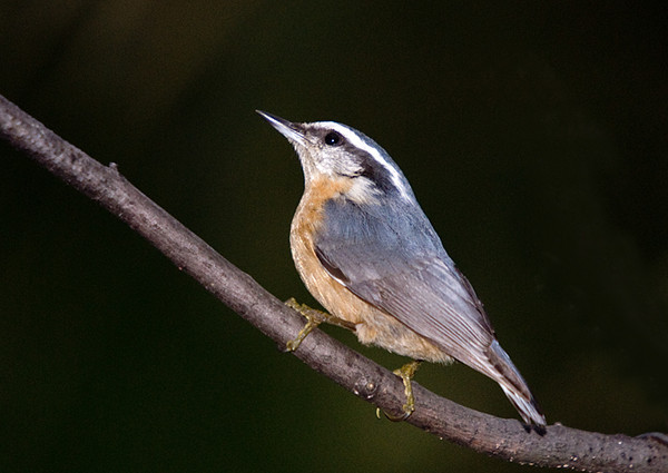 """<div class=""""jaDesc""""> <h4> Red-breasted Nuthatch Looking Up - October 2, 2008 </h4> <p> It was starting to get dark when this guy showed up looking for sunflower seeds. It has been several weeks since I've seeneither of the pair we had coming in daily.</p> </div>"""