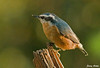 "<div class=""jaDesc""> <h4> Red-breasted Nuthatch in Morning Sun - September 28, 2009 </h4> <p> The Red-breated Nuthatch pair is still visiting every few days.  I am hoping they are here to stay for the winter. They like shelled peanuts and suet.</p> </div>"