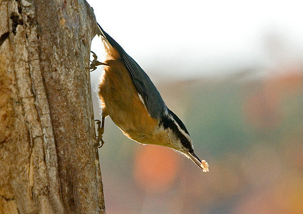 "<div class=""jaDesc""> <h4> Red-breasted Nuthatch with Suet Chunk - October 25, 2007 </h4> <p>The Red-breasted Nuthatches like to grab a chuck of suet and fly to a more secluded spot to eat it.  They will stuff it into a crack and peck away at it.</p> </div>"