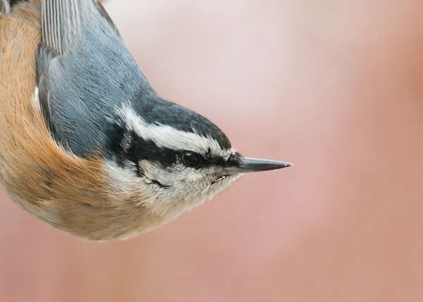 """<div class=""""jaDesc""""> <h4>Red-breasted Nuthatch Staying Alert - February 3, 2013 </h4> <p> These guys are perpetual motion machines, they are rarely still.  Even when eating, they are constantly checking out what is going on around them.</p> </div>"""