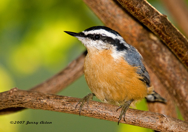 """<div class=""""jaDesc""""> <h4> Red-breasted Nuthatch Close-up - April 18, 2007 </h4> <p>Once in awhile these little speedsters stay put long enough to get a nice close in shot.  This one was cooperating nicely.</p> </div>"""