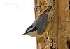 "<div class=""jaDesc""> <h4> Red-breasted Nuthatch at Suet Log - February 14, 2008 </h4> <p>The pair of red-breasted nuthatches are now regulars at our suet and nut feeders.  When they are not in our backyard, we can hear them ""honk, honk, honking"" in the woods, claiming their territory.</p> </div>"