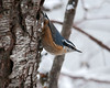 "<div class=""jaDesc""> <h4> Red-breasted Nuthatch on on Tree Trunk - February 16, 2010 </h4> <p> First I heard this little guy's ""honk, honk"" call.  Then I saw him moving briskly up, down and around the tree trunks near me.</p> </div>"