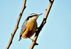 "<div class=""jaDesc""> <h4> Red-breasted Nuthatch on Tree Branch - November 29, 2010 </h4> <p> The Red-breasted Nuthatch pair are daily regulars now, visiting numerous times each day.  They are one of the first to greet me when I put seed out in the morning.  Sometimes I get within inches of them and they don't fly off.</p> </div>"