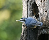 "<div class=""jaDesc""> <h4>Red-breasted Nuthatch with Suet Chunk - October 21, 2018</h4> <p>Our pair of Red-breasted Nuthatches spend much of the day visiting the feed stations in our yard.</p> </div>"