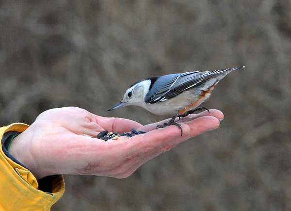 """<div class=""""jaDesc""""> <h4> White-breasted Nuthatch Hand Feeding - January 30, 2012 </h4> <p> A White-breasted Nuthatch had been watching the Chickadees feed out of our hands for about 10 minutes. He would come out to the end of a tree branch and look down at Jeff's hand, trying to get up the nerve to drop down and get a seed. Jeff extended his hand further away from his body. That provided the additional comfort zone the Nuthatch needed. He quickly swooped down and moved around on Jeff's fingers for several seconds before grabbing a seed.</p> </div>"""