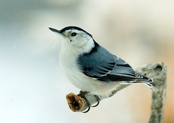 """<div class=""""jaDesc""""> <h4> White-breasted Nuthatch on a Cold Winter Morning - February 2007  </h4> <p>  I placed this new perch near the peanut feeder.  The White-breasted Nuthatches are now using it as an approach perch.</p> </div>"""