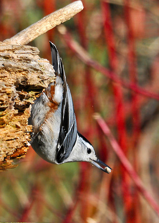 """<div class=""""jaDesc""""> <h4> White-breasted Nuthatch with Safflower Seed - April 20, 2014 </h4> <p> I put Safflower seed out for the Cardinals every morning since that is their favorite.  The seed has been disappearing faster than normal.  Now I know why; it is a favorite of the White-Breasted Nuthatch as well.  Interestingly, the Red-breasted Nuthatches prefer shelled peanuts.</p> </div>"""