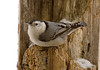 "<div class=""jaDesc""> <h4> White-breasted Nuthatch on Snowy Perch - January 27, 2008  </h4> <p>  Four of these cute White-breasted Nuthatches are grabbing peanuts, sunflower seeds and suet all day long.</p> </div>"