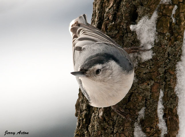 """<div class=""""jaDesc""""> <h4> White-breasted Nuthatch on Locust Trunk - January 10, 2010</h4> <p>The White-breasted Nuthatch is now taking his turns at the locust trunk suet feeder.  He comes in between times when the Woodpeckers, Blue Jays and Starlings are there.</p> </div>"""