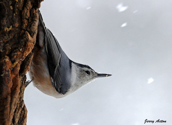 """<div class=""""jaDesc""""> <h4> White-breasted Nuthatch in Blowing Snow - January 4, 2010</h4> <p>When I was putting out shelled peanuts this morning, this White-breasted Nuthatch was """"honk honking"""" to me.  I had not seen him for about a week, but today he was eating peanuts and suet all morning.</p> </div>"""