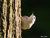 "<div class=""jaDesc""> <h4> White-breasted Nuthatch Circling Tree - September 13, 2009</h4> <p>This White-Breasted Nuthatch was one of a pair that were circling a large hickory tree on their approach to the nut feeder.</p> </div>"