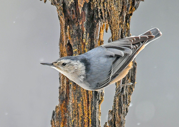 """<div class=""""jaDesc""""> <h4>White-breasted Nuthatch on Suet Log - January 29, 2016 </h4> <p></p> </div>"""