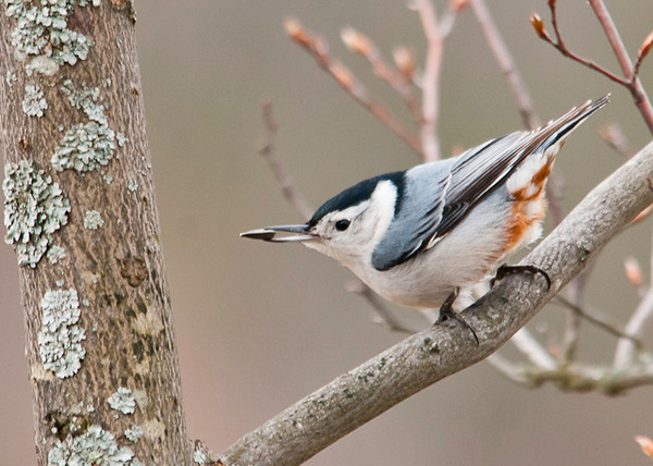 """<div class=""""jaDesc""""> <h4> White-breasted Nuthatch - Got My Seed - April 9, 2013 </h4> <p> Getting these guys in the frame is always a challenge.  I was all set up to photograph the Bluebirds at the mealworm feeder when I caught this White-breasted Nuthatch in my peripheral vision in a serviceberry tree.  He had just grabbed a sunflower seed and was looking for a crack to jam it into so he could peck it open.  His rust colored accent markings are brightest this time of year (to catch the eye of a pretty gal).</p> </div>"""
