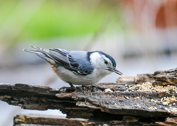 """<div class=""""jaDesc""""> <h4>White-breasted Nuthatch with Peanut Piece - May 15, 2020 </h4> <p></p> </div>"""