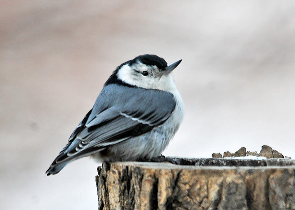 "<div class=""jaDesc""> <h4>Perky White-breasted Nuthatch - January 20, 2015 </h4> <p> It is unusual to see a Nuthatch sitting on a perch like a songbird.  This one sat in this position for several minutes as other birds arrived and departed around him. </p> </div>"