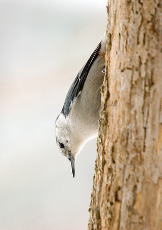 """<div class=""""jaDesc""""> <h4> Nuthatch Enjoying Suet - January 17, 2008  </h4> <p>  The White-breasted Nuthatches are enjoying the peanut butter suet that I smear into the holes in this old tree trunk.  Their favorite eating position is upside down.</p> </div>"""