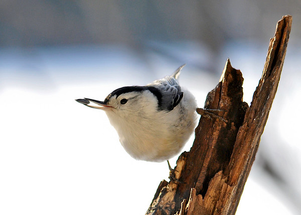 "<div class=""jaDesc""> <h4> White-breasted Nuthatch Grabs Seed - January 20, 2015</h4> <p>I tossed sunflower seeds into the crevices of this broken limb this morning.  This White-breasted Nuthatch enjoyed finding them.</p> </div>"