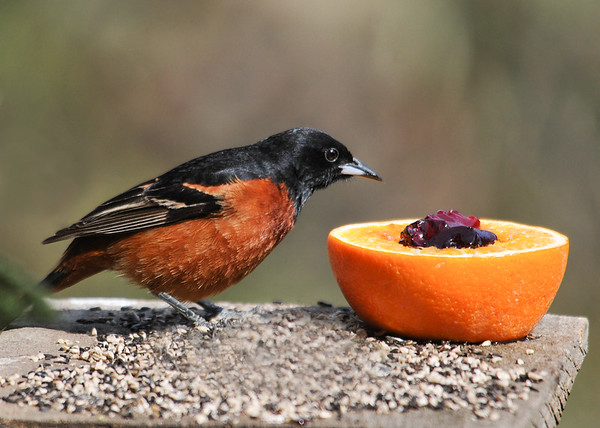 "<div class=""jaDesc""> <h4>Male Orchard Oriole Inspecting Jelly - May 10, 2016</h4> <p>We had our first time ever visit by an Orchard Oriole today.  He was cautiously inspecting the grape jelly in the orange that he had just seen the Baltimore Orioles eating.</p> </div>"