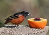 "<div class=""jaDesc""> <h4>Male Orchard Oriole Licks Up Jelly - May 10, 2016</h4> <p>Once the Orchard Oriole had tasted the jelly, he was lapping it up with his tongue as fast as he could before the other orioles chased him off.</p> </div>"
