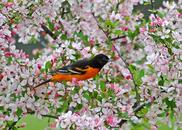 """<div class=""""jaDesc""""> <h4> Male Baltimore Oriole in Blooming Crabapple Tree - May 2, 2010</h4> <p>  This male Baltimore Oriole woke me up at 5:45 this morning with his loud territory calls all around our property. This afternoon he came into our backyard and spent about 10 minutes picking bugs off the blooms on our flowering crabapple tree. </p> </div>"""