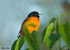 "<div class=""jaDesc""> <h4> Male Baltimore Oriole In Morning Sun - August 27, 2009</h4> <p>  My wife Lynn called to tell me there was something bright orange in front of our house.  It was this male Baltimore Oriole in our mulberry tree with the morning sun shining on him.</p> </div>"