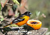 "<div class=""jaDesc""> <h4>Male Baltimore Oriole Guarding Orange - May 8, 2016</h4> <p>The Orioles typically put one claw on the orange half as if they are saying ""this is mine"".  The grape jelly center and all the orange were gone by the end of the day.</p> </div>"