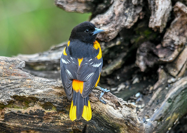"""<div class=""""jaDesc""""> <h4>1st Year Male Baltimore Oriole on Log - May 4, 2019</h4> <p>This is a first year male, notice the more yellow coloring with a bit of orange starting to show.</p> </div>"""