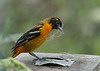 "<div class=""jaDesc""> <h4>Female Baltimore Oriole with Nesting Material - May 15, 2016</h4> <p>When the Baltimore Orioles show up, I cut bailing twine in 12-15 inches lengths.  Then I unravel it into small numbers of strands and drape on the ends of tree branches.  This female has grabbed some to build the hangers for the pouch nest.</p> </div>"