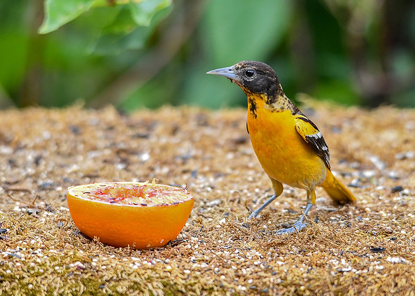 """<div class=""""jaDesc""""> <h4>Female Baltimore Oriole Dining - June 20, 2018</h4> <p>The female Oriole is very territorial about food.  She will chase the male away till she is done eating.  So I place the oranges in separate dining areas to promote family harmony.</p> </div>"""