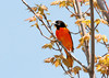 "<div class=""jaDesc""> <h4> Male Baltimore Oriole - 1st of Year - May 12, 2011</h4> <p> We have a male Baltimore Oriole calling loudly beginning at 5:30 every morning. Hopefully he will establish his territory and find a mate soon.</p> </div>"