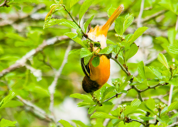 "<div class=""jaDesc""> <h4> Female Baltimore Oriole Hanging Upside Down - May 17, 2013</h4> <p> I could hear a Baltimore Oriole calling loudly while moving about in a tree.  Finally this female appeared right in front of me.  She was hanging upside down diligently gathering bugs off the underside of leaves.</p> </div>"