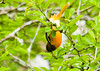 """<div class=""""jaDesc""""> <h4> Female Baltimore Oriole Hanging Upside Down - May 17, 2013</h4> <p> I could hear a Baltimore Oriole calling loudly while moving about in a tree.  Finally this female appeared right in front of me.  She was hanging upside down diligently gathering bugs off the underside of leaves.</p> </div>"""