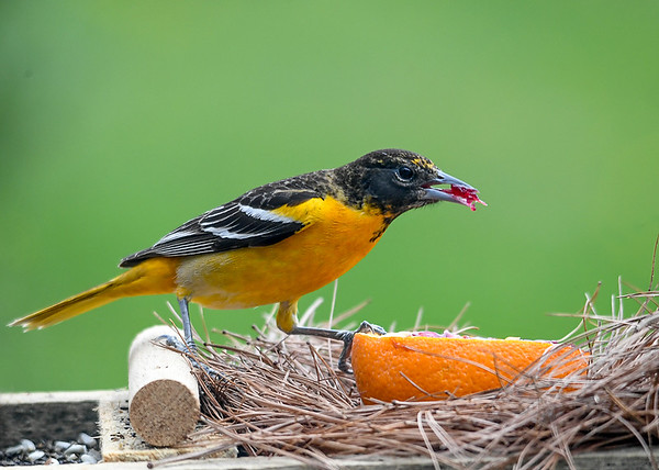 """<div class=""""jaDesc""""> <h4>Female Baltimore Oriole - Grabs Blob of Jelly - May 6, 2020</h4> <p></p> </div>"""