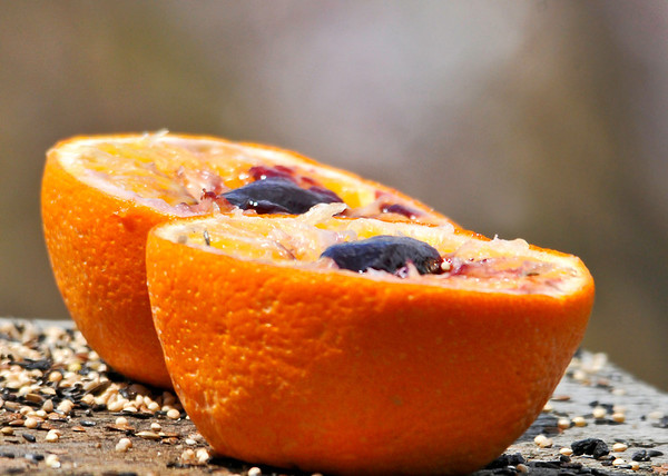 """<div class=""""jaDesc""""> <h4> Grape Jelly a L'Orange - May 8, 2014</h4> <p>I have never been successful at getting Baltimore Orioles to go for oranges or grape jelly even though others say it works great.  Previously I always put them out separately.  This morning I decided to cut an orange in half, scoop out the centers and put the grape jelly in the orange halves.  WOW, that worked !!!</p> </div>"""