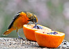 "<div class=""jaDesc""> <h4> Immature male Baltimore Oriole - Beak in Jelly - May 8, 2014 - Video Attached</h4> <p>The male Orioles all chased each other off while one was eating. </p>  </div> <center> <a href=""http://www.youtube.com/watch?v=kEfJIr0PBFU"" style=""color: #0AC216"" class=""lightbox""><strong> Play Video</strong></a> </center>"