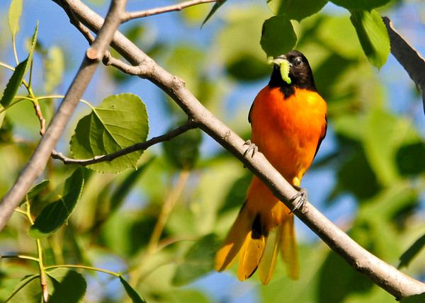 "<div class=""jaDesc""> <h4>Male Baltimore Oriole Arrives with Food - June 5, 2014</h4> <p>The male Oriole was making regular food runs to the nest.  Here he has a fat juicy caterpillar.</p> </div>"