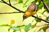 """<div class=""""jaDesc""""> <h4> Female Baltimore Oriole Looking for Nesting Material - June 2, 2013</h4> <p> Our newly arrived female Baltimore Oriole started collecting nesting material as soon as she arrived.  I cut bailing twine in 12 inch lengths, unravel it, and drape strands on tree limbs.  She uses the strings as hanger material for her pouch shaped nest.</p> </div>"""