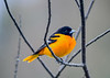 """<div class=""""jaDesc""""> <h4>Male Baltimore Oriole in Cherry Tree - May 4, 2019</h4> <p>He picked a bare branches section of the tree.</p> </div>"""