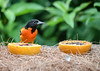 "<div class=""jaDesc""> <h4>Adult Male Baltimore Oriole - August 23, 2019</h4> <p>This is the dad.</p> </div>"