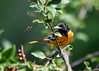 "<div class=""jaDesc""> <h4>Immature Male Baltimore Oriole in Cherry Tree - July 17, 2016</h4> <p>Our juvenile Baltimore Oriole stops in the cherry tree on his way in the eat orange and grape jelly.  His breast feathers will all become dark orange as he matures. This time of year, the Oriole family, 2 adults, 2 youngsters spend most of their time in the honeysuckle bushes that are loaded with berries, so I don't see them as often.</p> </div>"