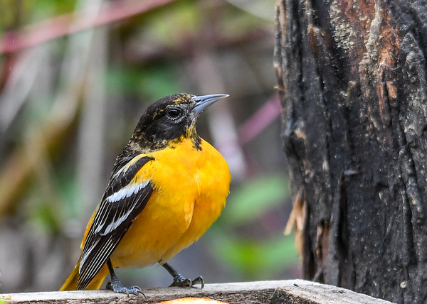 """<div class=""""jaDesc""""> <h4>Female Baltimore Oriole Posing - May 11, 2018</h4> <p>We now have 4 male Orioles and 2 females.  The 4 males are chasing each other around vying for territory and female attention.  This female is a real beauty with her breast all puffed up. </p> </div>"""
